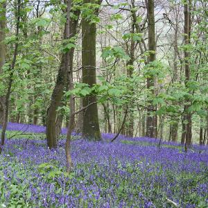 Our bluebells